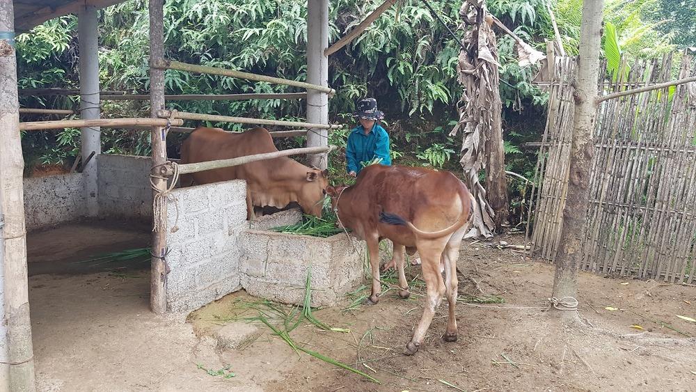Chương trình hỗ trợ và tập huấn kỹ thuật chăn nuôi bò cái giống sinh sản cho người nghèo
