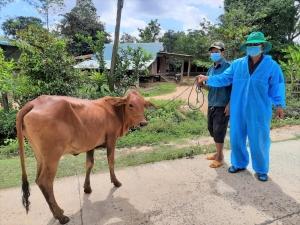 Hỗ trợ bò giống – trao sinh kế, tạo cơ hội thoát nghèo cho 600 hộ dân khó khăn vùng lũ